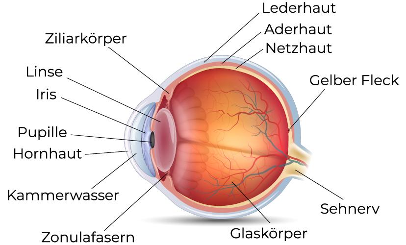 Aufbau und Funktion des Auges